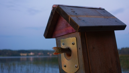 perca: Tail of a small perch fish coming out from a birdhouse entry on a summer evening by the lake in Nokia, Finland.
