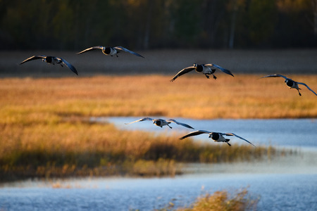 Flock of Canada geese landing in the water on October evening in Espoo, Finland Stock Photo