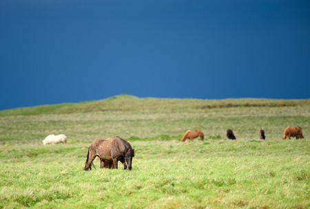 Herd of icelandic wild horses grazing in the fresh green pasture in the countryside of Southern Iceland