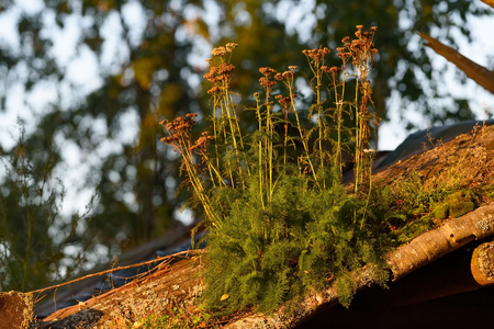 Large group of withered milfoils in the late September evening light growing on a roof of an old wooden house