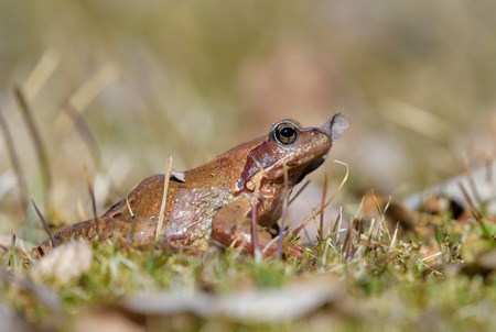 Close-up of a brown frog in a grass lawn with pine needles and a dry leaf on sunny spring afternoon in Southern Finland.