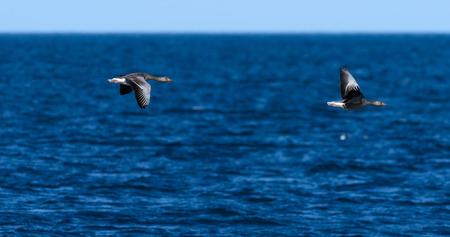 Two geese flying over blue Atlantic ocean near Reykjavik, Iceland on early June morning.