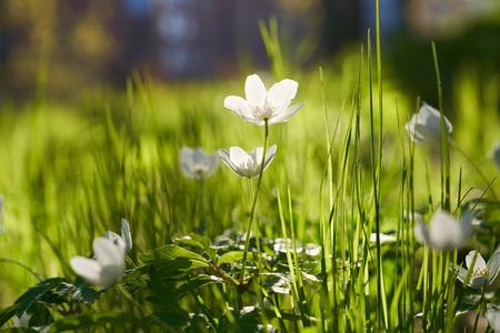 Backlit Wood anemones in fresh green grass
