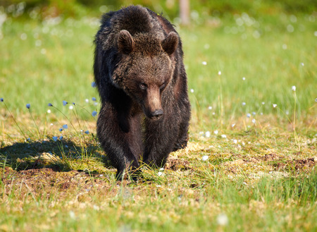 Bear standing in the middle of cottongrass flowers on a Finnish swamp in Eastern Finland on early summer evening Stock Photo