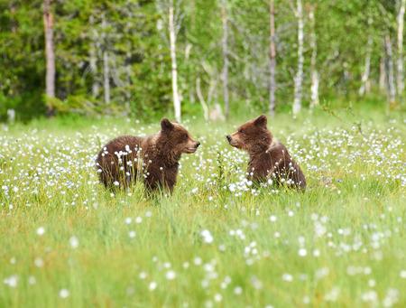 Deux jeunes ours bruns au milieu de fleurs de linaigrette sur un marais finlandais dans l'est de la Finlande au début de soirée d'été