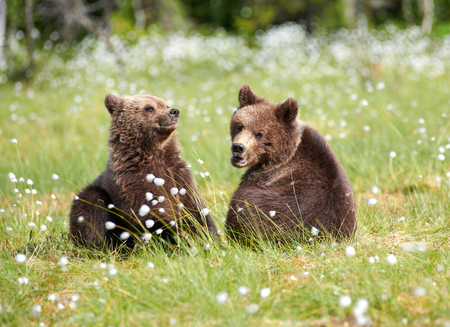 Two young brown bears sitting in the middle of cottongrass flowers on a Finnish swamp in Eastern Finland on early summer evening