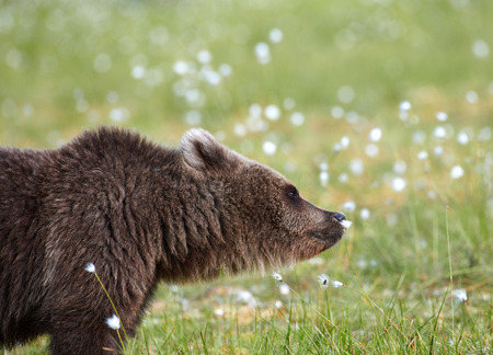 Brown bear smelling flower on a Finnish swamp in Eastern Finland on summer evening