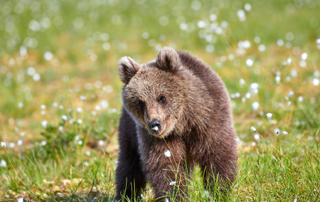 Brown bear sniffing flower on a Finnish swamp in Eastern Finland on summer evening Banque d'images
