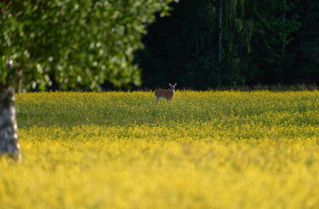 Deer standing in the middle of bright yellow rapeseed field in the evening light at the end of July in Western Finland on sunny evening. Stock Photo