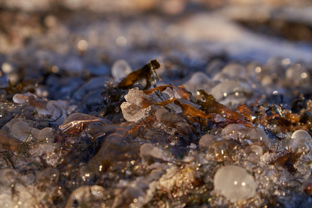 Close up of frozen Bladderwrack partly inside ice on shore in Helsinki, Finland by the Baltic Sea Stock Photo