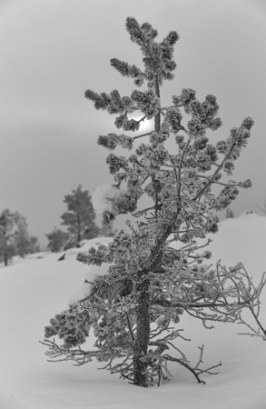 Icy and snowy pine tree on a fell in Lapland, Finland on cloudy winter afternoon