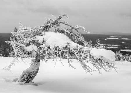 Icy and snowy twisted pine tree on top of a fell in Lapland, Finland on dramatic overcast winter afternoon Stock Photo