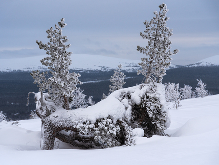 Two small icy and snowy pine trees on ridge of a fell in Lapland, Finland on cloudy winter day Stock Photo