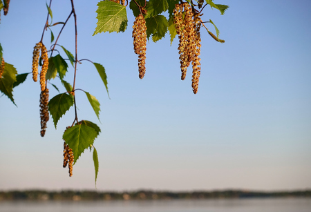 Birch tree catkins and fresh green leaves with small aphids in leaves on spring evening by the Baltic Sea in Helsini, Finland. Stock Photo