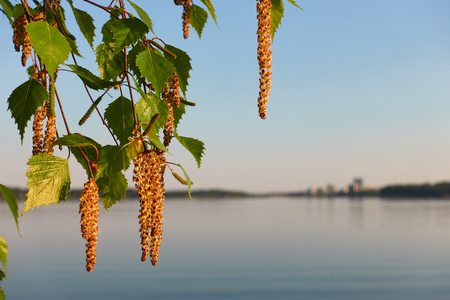 Birch tree catkins and fresh green leaves with small aphids in leaves on spring evening by the Baltic Sea in Helsini, Finland. Stock Photo - 123750536