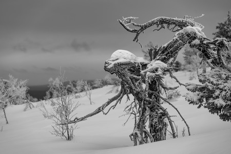 Frozen pine tree with an appearance of a wooden alien in the Finnish Lapland on a fell after a snow storm in February 2019. Stock Photo - 123750537