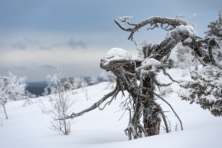 Frozen pine tree with an appearance of a wooden alien in the Finnish Lapland on a fell after a snow storm in February 2019.