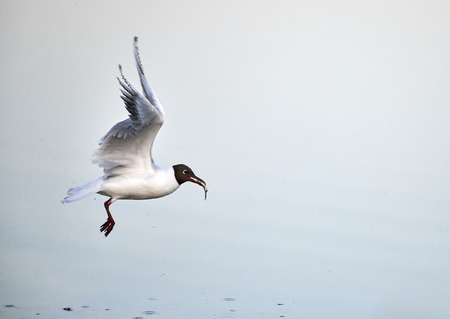 Black-headed gull takes off from the sea water with freshly caught small fish in its mouth on Baltic Sea in Espoo, Finland Stock Photo - 123750541