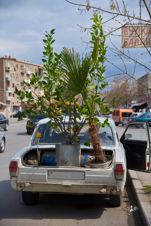 Artashat, Armenia - April 2, 2017: Old Soviet car with a lemon tree in the trunk on early April afternoon.