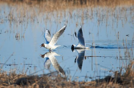 Two cheerful black headed gulls performing mating rituals above water on April evening in Espoo, Finland Stock fotó