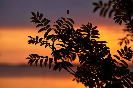 Late August sunset behind rowan leaves by the Baltic Sea in Southern Finland
