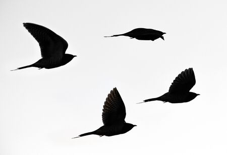 Silhouette of flying cuckoos in black and white Standard-Bild - 131841267