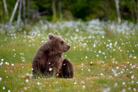 Young brown bear sitting in the middle of cottongrass flowers on a Finnish swamp in Eastern Finland on early summer evening Standard-Bild - 135447673