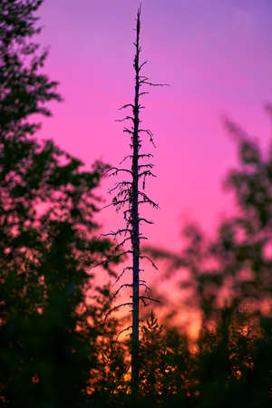 Fir tree snag surrounded by colourful midnight sun light in the forest located in Pello that is in the Finnish Lapland.
