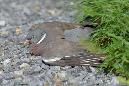 Flightless and injured Common wood pigeon lying on the gravel road in Western Finland on sunny day at the end of July 2020.