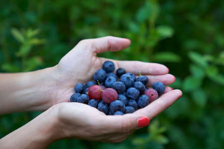 Fresh highbush blueberries and gooseberries on female hands in outdoors settings in Finland.