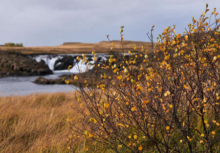 Small trees in Autumn colors by the river with scenic waterfall on the background on Snaefellsnes peninsula in Western Iceland on overcast day in October 2019.