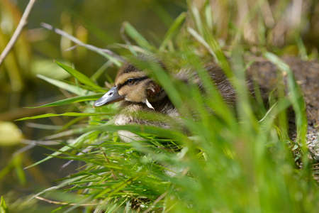 Young baby mallard duck with fresh head wound sitting on the grass on late spring daylight in Espoo, Finland