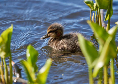 Young baby mallard duck with fresh head wound swimming on a lakeon late spring daylight in Espoo, Finland