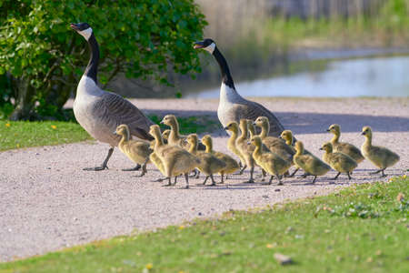 Flock or family of Canada geese with group of goslings crossing the gravel road in Helsinki, Finland on sunny evening in May 2020.