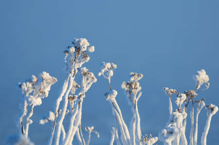 Ice covered withered flowers on blue background