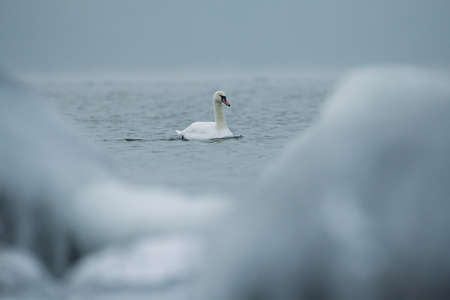 Lonely swan swimming in the ice cold water of the Baltic Sea in Helsinki, Finland few hours before freeze-up over in January 2021.