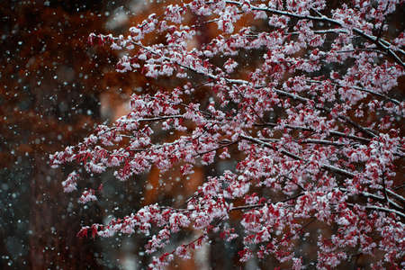 Cherry tree flowers and branches covered with melting wet snow during sudden and unexpected snow storm in May in Helsinki, Finland.