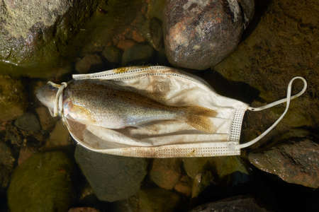 Dead fish (Eurasian ruffe) and a discarded face mask floating in the Baltic sea and partly laying on slimy rocks in Southern Finland in spring 2021.