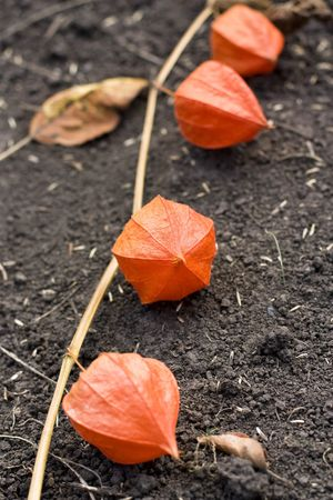 Physalis on ground red in garden