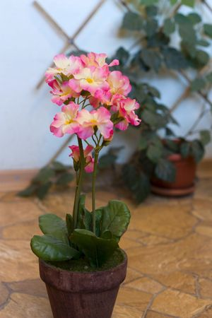 flower in plot geranium; pelargonium;