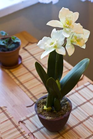 floridity: Daffodil in pot white