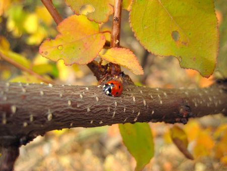 ladybird on tree red spotted Stock Photo