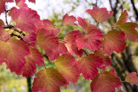 tree; branch; japanese; red; leaf; plant; nature; sunlight; nobody; on; autumn; illuminated; orange; foreground; color; outdoors; image; Stock Photo