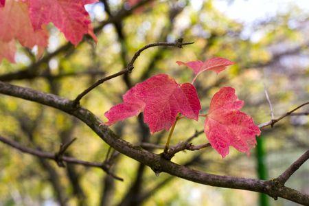tree, branch, japanese, red, leaf, plant, nature, sunlight, nobody, on, autumn, illuminated,