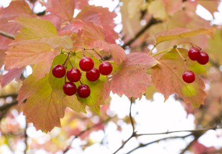 Snowball tree branch; japanese; berry; snowball; red; leaf; plant; nature; sunlight; nobody; on; autumn;