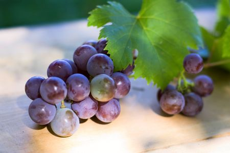 ripe blue grape on vine in autumn