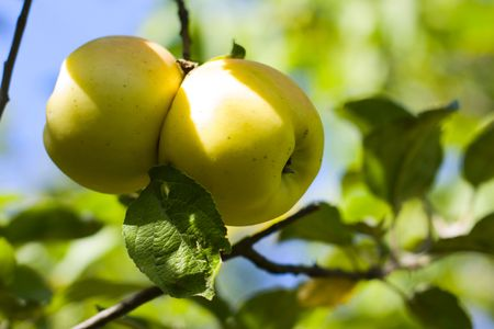 two apples together on a tree in autumn Stock Photo - 5719635