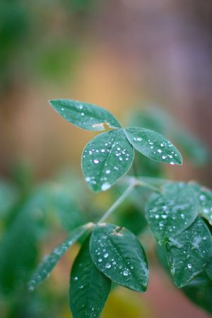 drops of dew on fresh green leaves