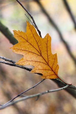 orange oak tree leaf on a branch in a forest