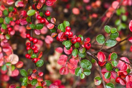 red berry on a bush in autumn Stock Photo